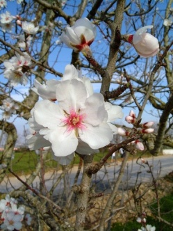 almond-tree-flower