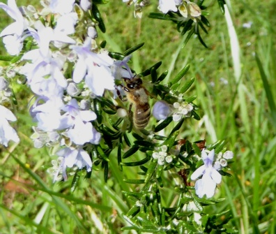 gl bee on rosemary close 2-17-16