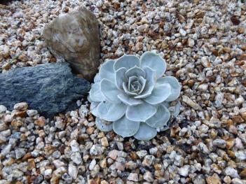 gl P1030389 new succulent