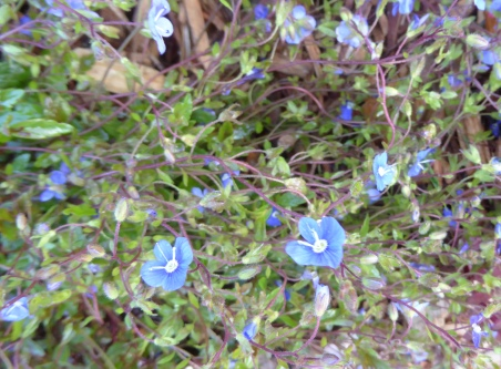 gl speedwell not weed 2-27-16