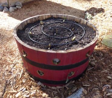gl strawberry barrel crop just planted