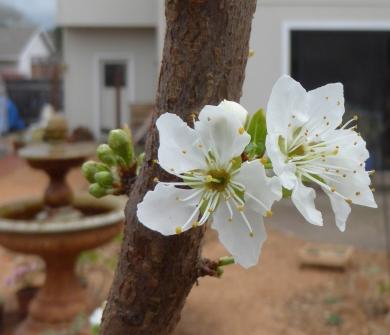 plum blossom w fountain close 3-2-16