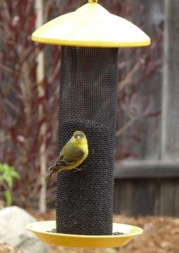gl goldfinch look crp2