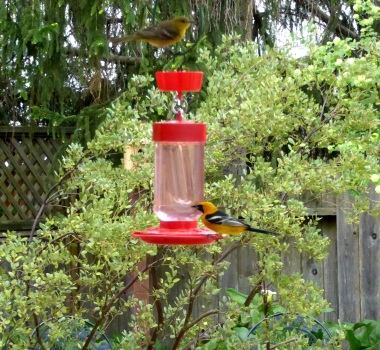 gl Hooded Orioles crp 2016-04-08