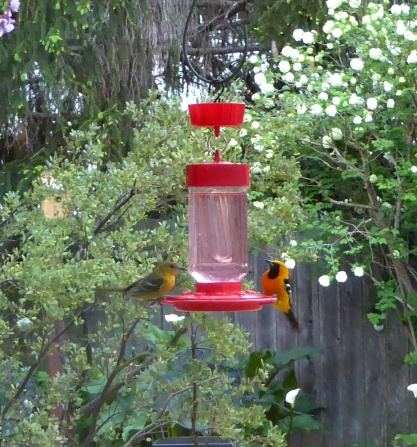 gl hooded orioles pair M throat P1030945 ed crp NICE