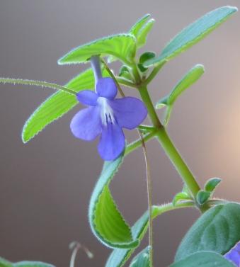 gl violet P1030899(1)