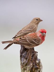 House_Finch_Male_and_Female
