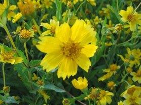 nyjer flower
