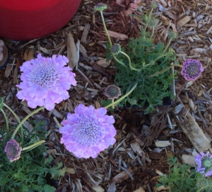 p pincushion flowers pre-plant cr
