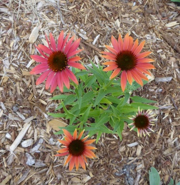 Echinacea Cheyenne Spirit May 2016