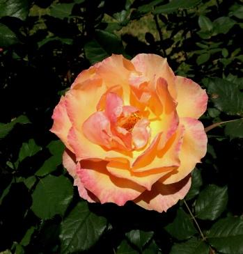 gl rose pascha 16