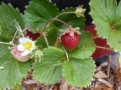 gl berries P1040889