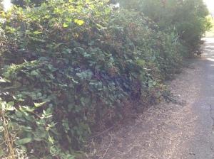 gl IMG_2747 blackberries