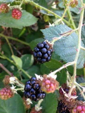 gl IMG_2749 berries