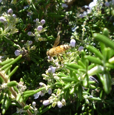 gl bee on rosemary