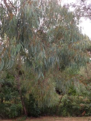 gl8 eucalyptus IMG_3085