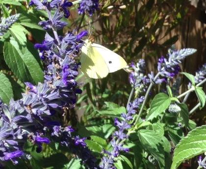 butterfly-9-16-16