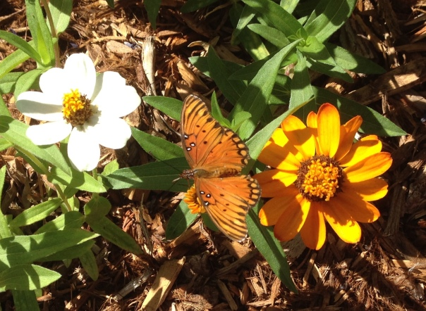 butterfly 9-5-16 5