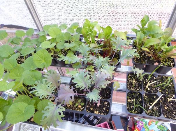 gl-27-p1050619-veg-starts-lilies-hollyhocks