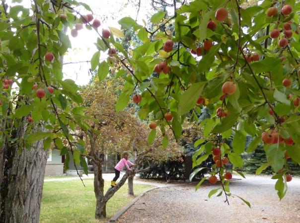gl-s-crabapples-ivy-9-16