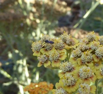 gl9 P1050431 fly on yarrow crp