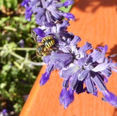 gl9 P1050452 wasp on salvia 9-4-16