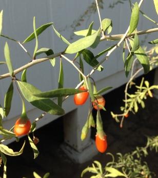 glt-goji-berries-prp