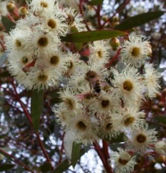 eucalyptus_calycogona_white_2-482x500