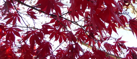 gle-japanese-maple-red-pa