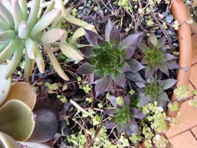 garden-p1060551-succulent