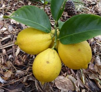 garden-p1060567-lemons