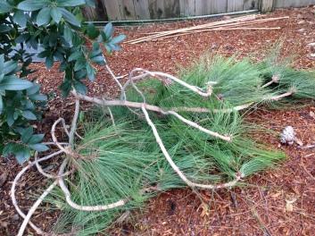 gl-1-9-pine-branch-img_4080