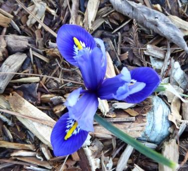 dutch-iris-2-12-17-p1060647