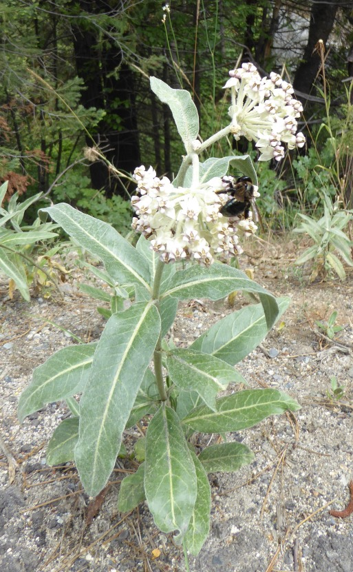 asclepias eriocarpa Indian Milkweed Sierras 7-15 w insect