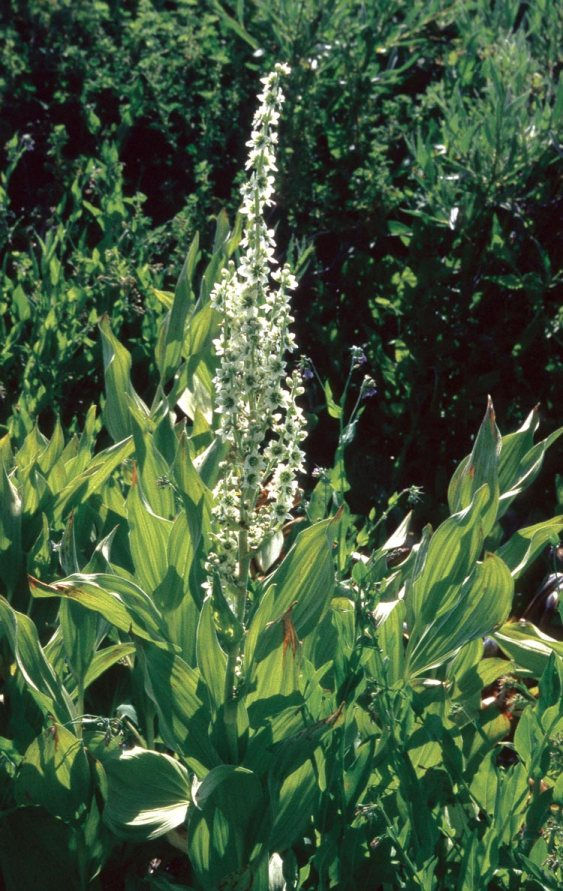 Corn Lily or False Hellebore Siskiyou 8-10