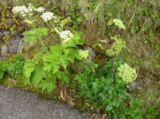 Cow Parsnip & Seacoast Angelica OR 2013