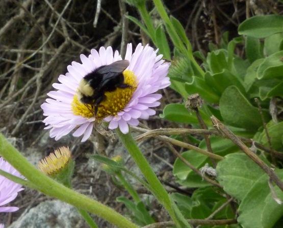 Erigeron glaucus - seaside daisy Monterey 3-11