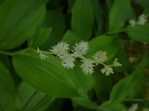 False Solomon's Seal so. OR 5-15