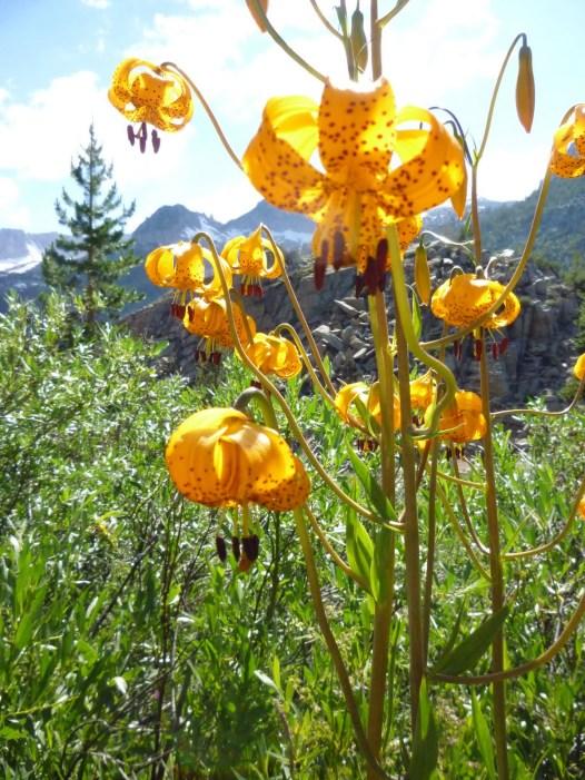 Leopard Lily - East Sierra 7-11