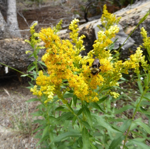 Meadow Goldenrod Sierras CLRd 7-15