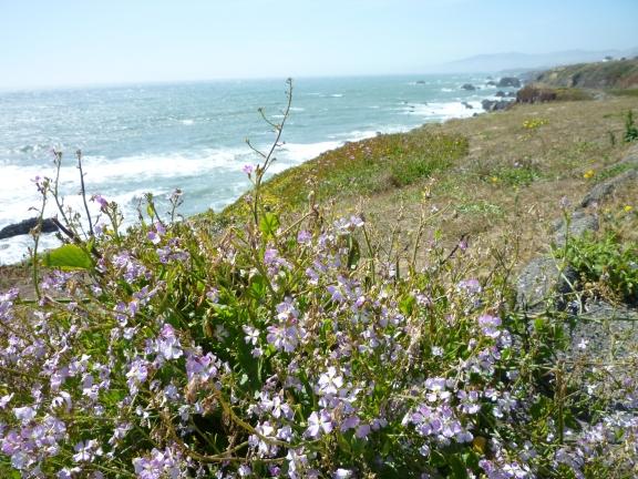 P1060355 Wild Radish Sonoma Beach 6-13