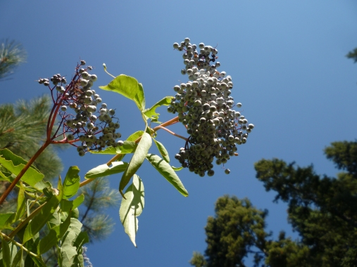 P1070278(1) sambucus mexicana Sierras 9-13