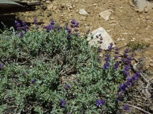 Purple Sage; Salvia dorri White Mts 9-11