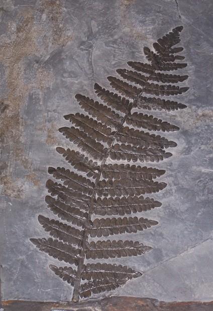 fern fossil